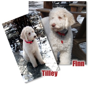 Labradoodle Puppies, Labradoodle Puppies for Sale, Hypoallergenic Dog Breeds